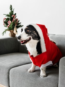 Cardigan welsh corgi draagt een kerstkostuum