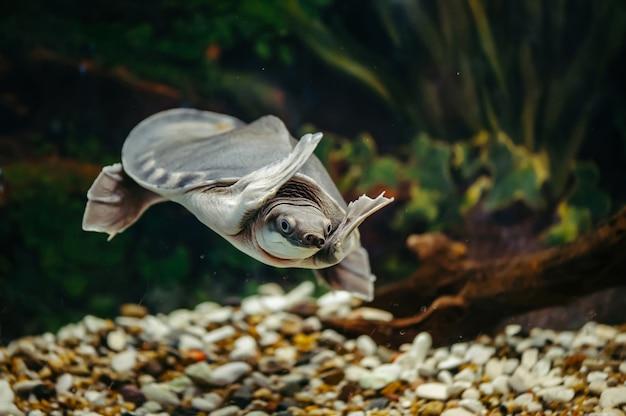 Carettochelys insculpta. de vrolijke schildpad zwemt onder water. grappige dieren.