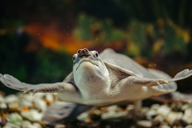 Carettochelys insculpta schildpad close-up.