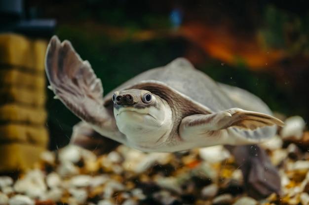 Carettochelys insculpta. vrolijke schildpad zwemt onder water. grappige dieren.