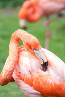 Caribische flamingo die zijn veren verzorgt met zijn snavel