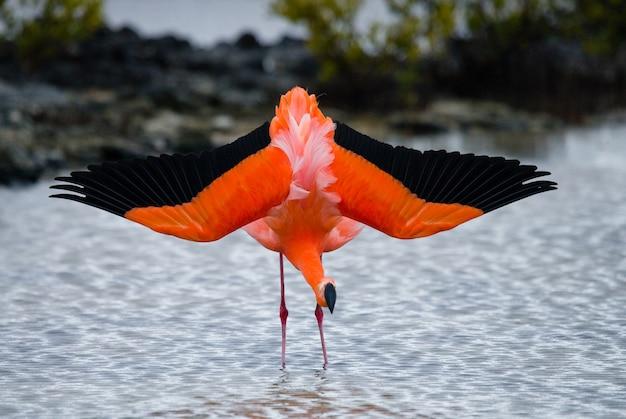 Caribische flamingo's die zich in de lagune bevinden. de galapagos-eilanden. vogels. ecuador.