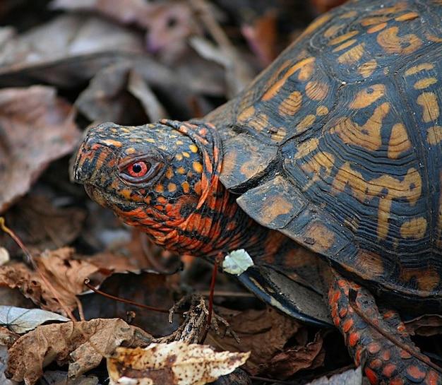 Carolina box land oostelijke schildpad terrapene