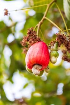 Cashewnoten groeien aan een boom deze buitengewone noot groeit buiten de vrucht