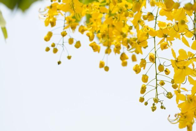 Cassia-fistelbloemen of gouden douchebloem met exemplaar-ruimte voor aardachtergrond