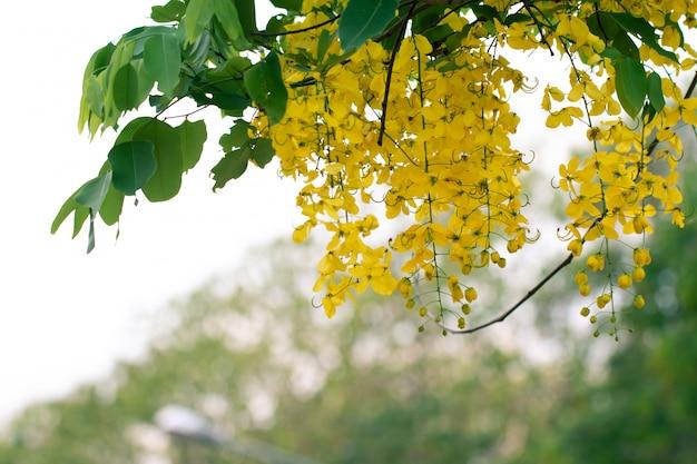 Cassia fistula bloemen of gouden douche bloem met kopie-ruimte voor de natuur