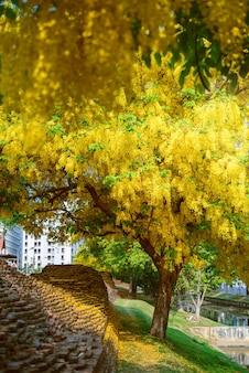(cassia fistula, golden shower tree) gele bloem bloeien langs de weg in april rond de oude muur, chiang mai, thailand