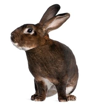 Castor rex-konijn voor witte achtergrond