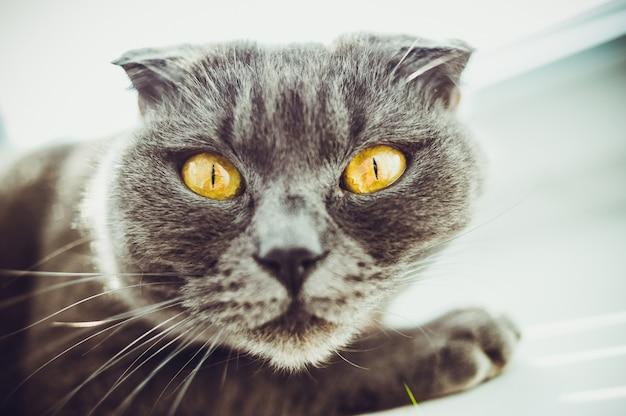 Cat is een schots vouwras