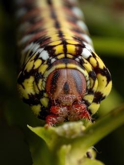 Catterpillar of banded sphinx moth van de soort eumorpha fasciatus die een plant eet