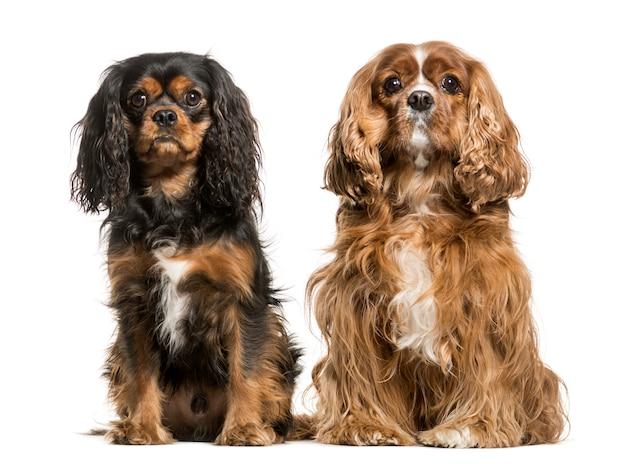 Cavalier king charles honden bij elkaar zitten