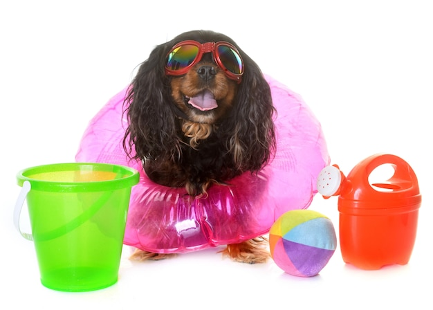 Cavalier king charles in de zomer