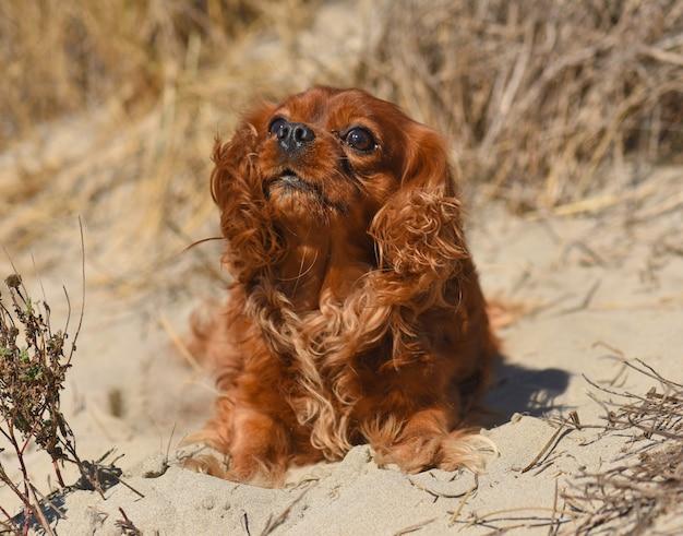 Cavalier king charles legde zich in het zand op een strand