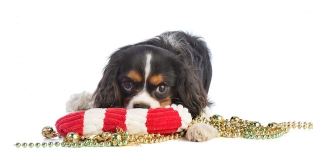 Cavalier king charles met kerstspeelgoed