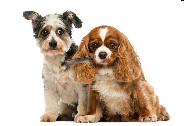 Cavalier king charles spaniel met een veer in zijn mond en kruising hond zittend, geïsoleerd op wit