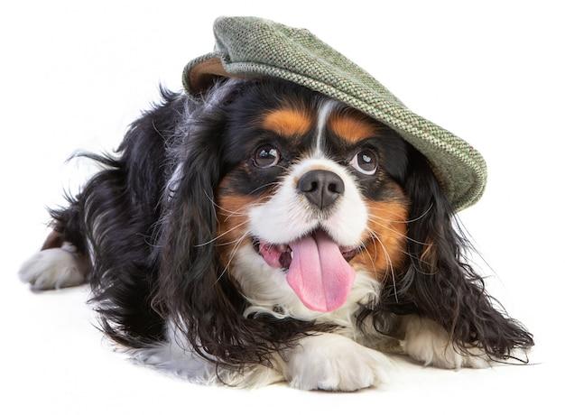 Cavalier king charles spaniel met hoed