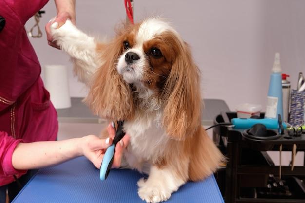 Cavalier king charles spaniel op de trimtafel in de hondenschoonheidssalon. een vrouwelijke trimmer krabt aan de vacht van een hond.