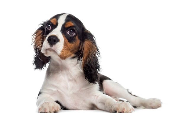 Cavalier king charles spaniel puppy liggen