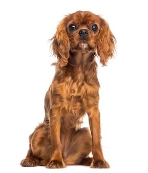 Cavalier king charles spaniel puppy zitten