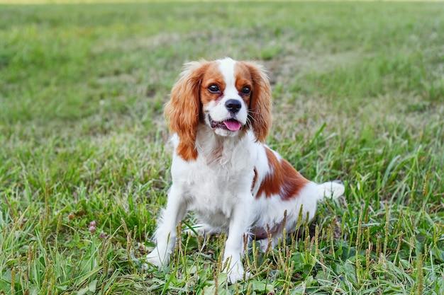 Cavalier king charles spaniel sit mooie puppy