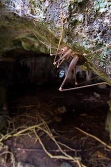 Cave cricket (dolichopoda linderi), een endemische zeldzame soort in het oosten van catalonië, leeft in vochtige grotten die zich voeden met vleermuisuitwerpselen, plantaardige resten, enz.
