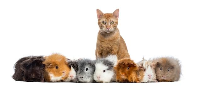 Cavia's met een kat op een rij geïsoleerd op wit