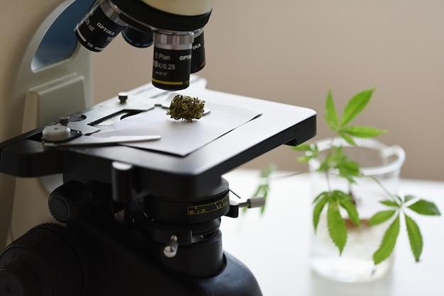 Cbd olie extractielaboratorium met gedroogde bloem onder een microscoop om trichoom te observeren