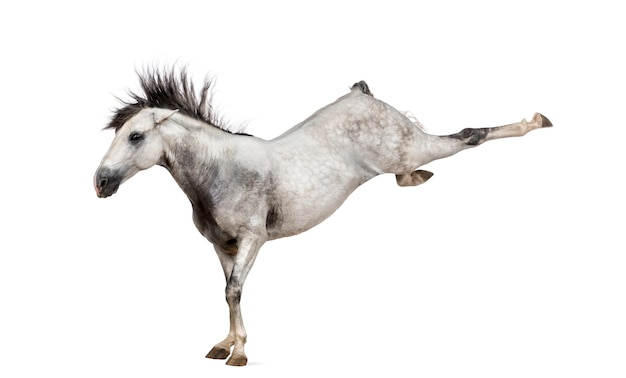 $ ce-andalusisch paard uitschoppen