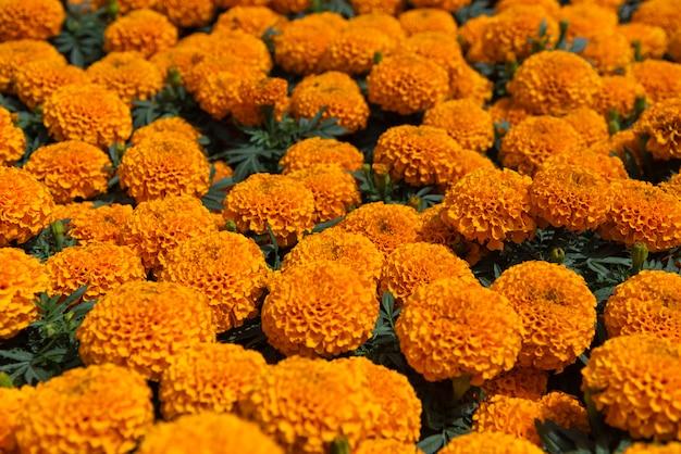 Cempasuchil gele goudsbloembloemen cempazúchitl voor altaren van de dag van de dode mexico