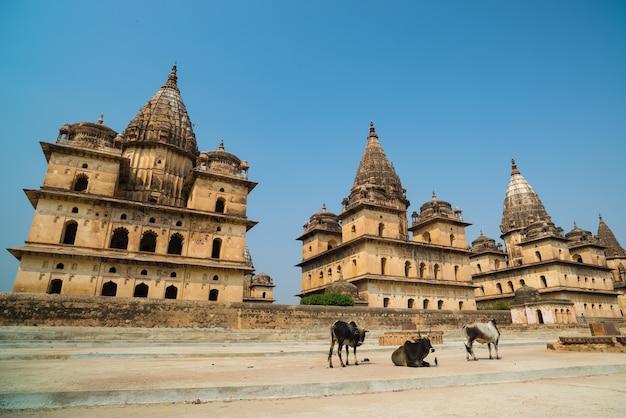 Cenotaphs in orchha, madhya pradesh. ook gespeld orcha, beroemde reisbestemming in india. koeien, blauwe lucht, groothoek.