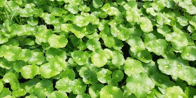 Centella asiatica, geneeskrachtige planten met geneeskrachtige eigenschappen