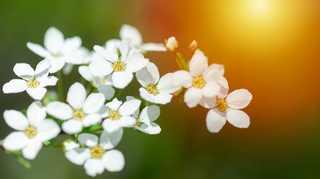 Cerasus besseyi lhbailey lunell witte kleine bloemen op takken. dwergkersbloesems in de lente.