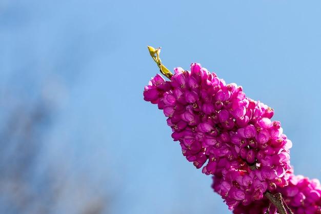 Cerisi chinensis bekend als chinese rode knop paarse bloem op de tak van een struik