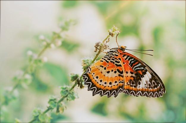 Cethosia cyane euanthes. mooie vlinders in de tuin.