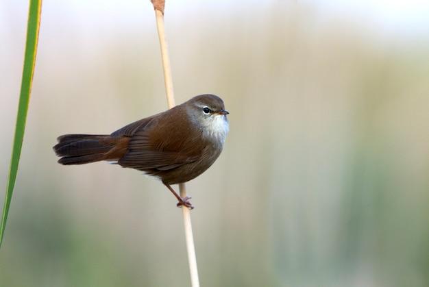 Cetti's grasmus, vogels, zangvogels, wetland, cettia cetti