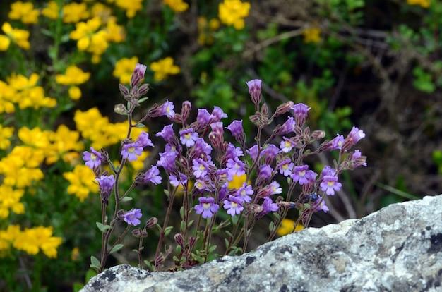 Chaenorhinum origanifolium bloemen groeien op rotsen