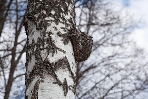 Chaga-berkpaddestoel op boomboomstam. parasiet wordt gebruikt in alternatieve geneeswijzen.