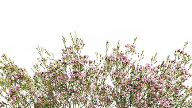 Chamelaucium bloemtak grens, voor bloemdessin van een ansichtkaart of banner.