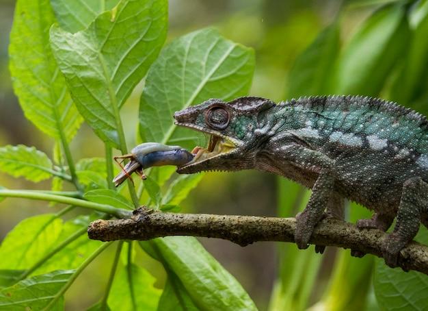 Chameleon jaagt op insecten. kameleon met lange tong. madagascar.