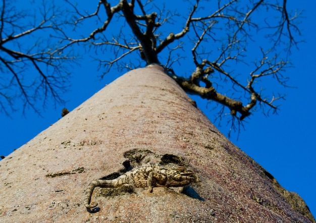 Chameleon zit op een baobab. madagascar.