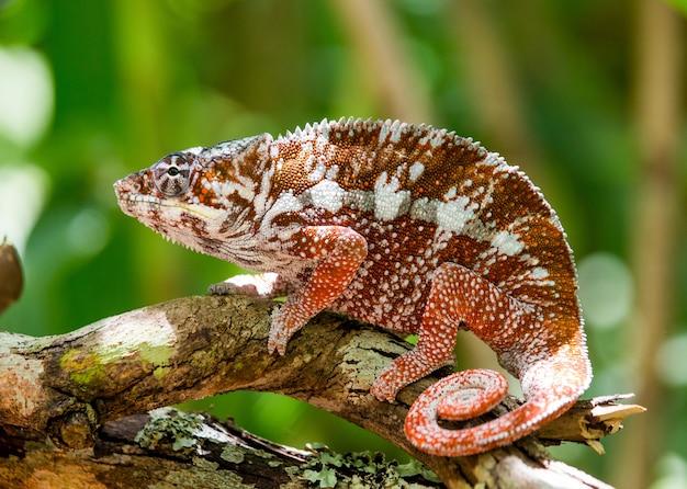 Chameleon zit op een tak. fauna van madagaskar.