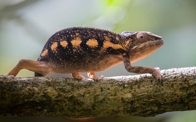 Chameleon zit op een tak. madagascar.