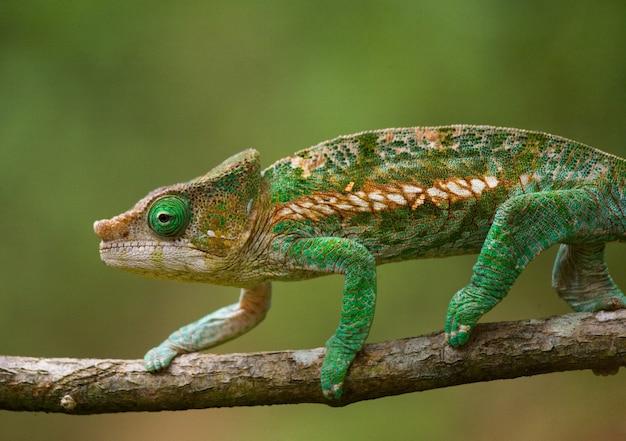 Chameleon zit op een tak. madagascar. Premium Foto