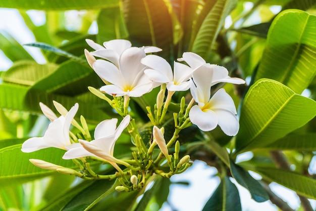 Champa bloem in tuin thailand (leelawadee bloem)