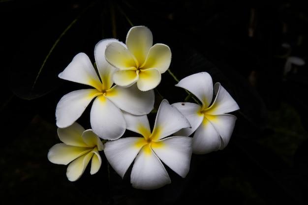 Champa witte bloemen in laos, thailand, myanmar, cambodja, indonesië, zuidoost-azië