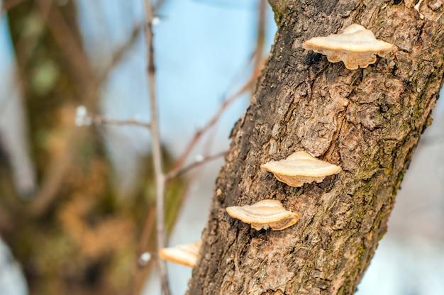 Champignons op de boom. een stuk van een boomstam met een houten paddestoelen. beuken en schimmel op een boom