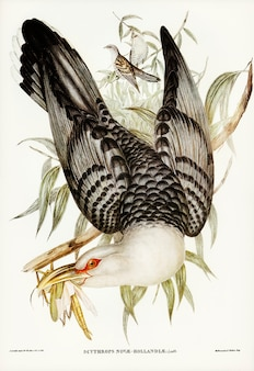 Channel bill cuckoo (scythrops novae-hollandiae) geïllustreerd door elizabeth gould