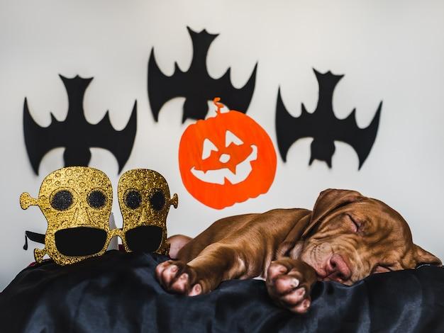 Charmant pit bull-puppy, liggend op een zwart tapijt, halloween-decoratie