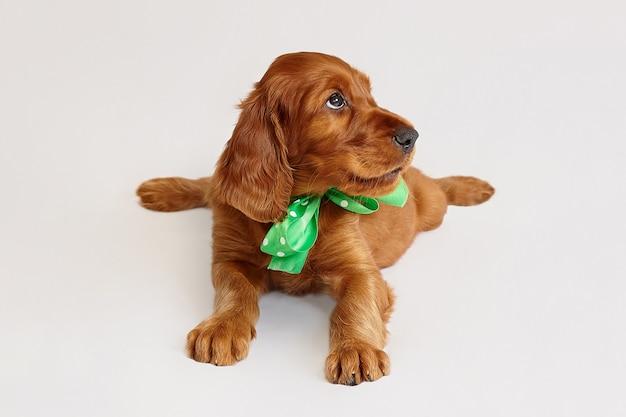 Charmante ierse setter puppy van bruine kleur op een witte achtergrond