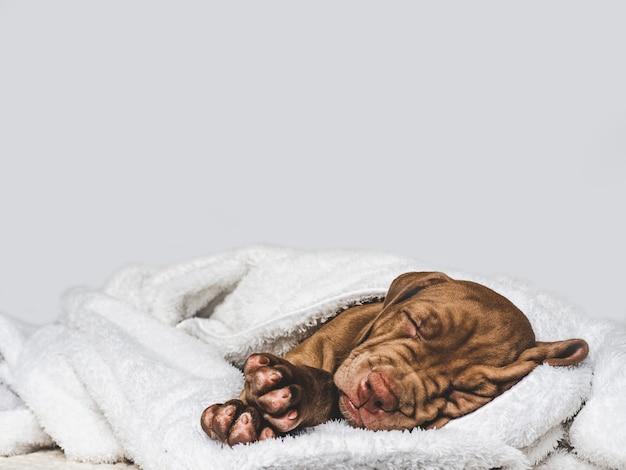 Charmante, schattige puppy van bruine kleur. close-up, binnen. daglicht. concept van zorg, onderwijs, gehoorzaamheidstraining, het grootbrengen van huisdieren